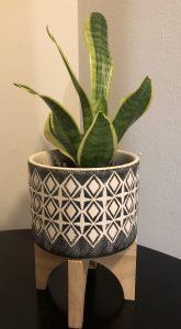 snake plant - sansevieria laurentii