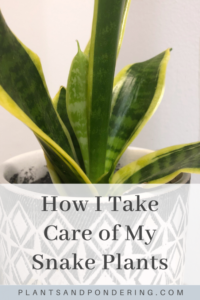 pinterest graphic for snake plant care guide