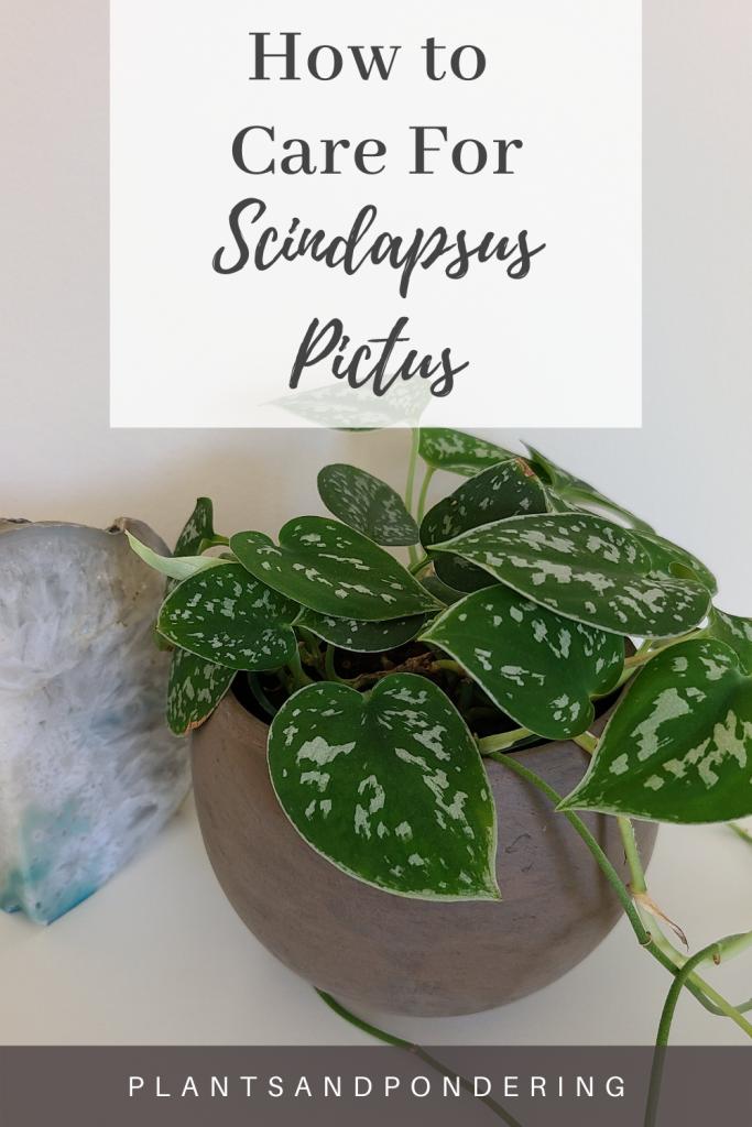 pinterest graphic for scindapsus pictus care guide