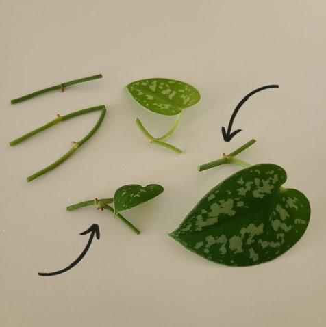 photo of scindapsus pictus propagations