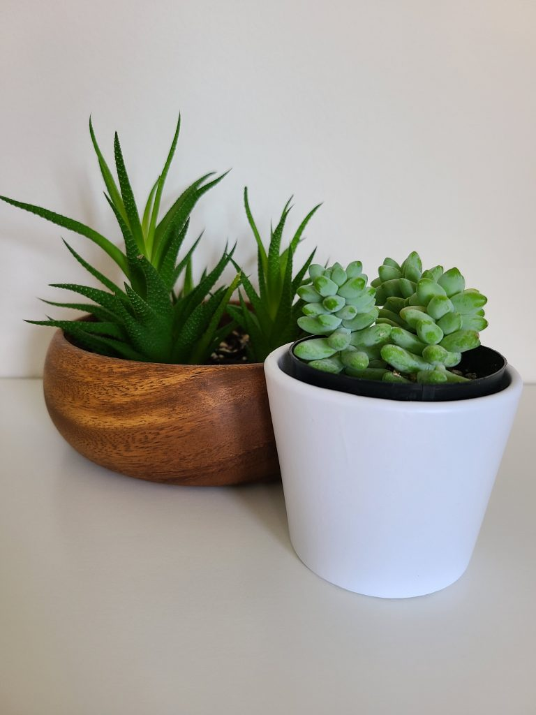 haworthia and burros tail succulents
