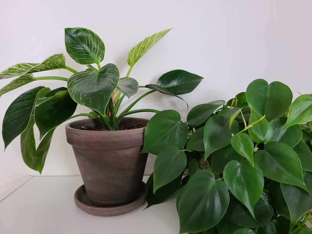 photo of philodendron birkin and heartleaf philodendron