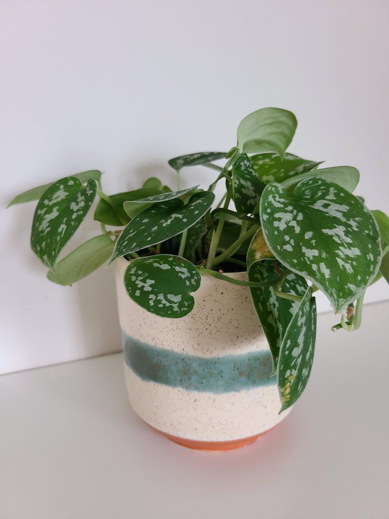 photo of scindapsus pictus plant