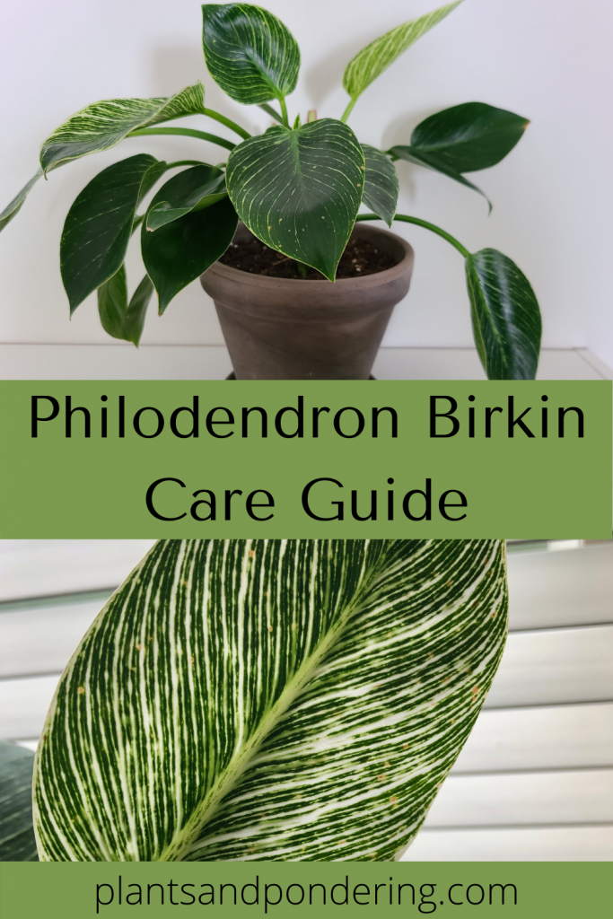 pinterest graphic for philodendron birkin care