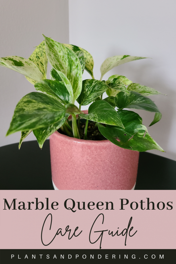 pinterest graphic for marble queen pothos care
