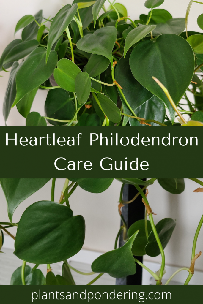 pinterest graphic for heartleaf philodendron care guide