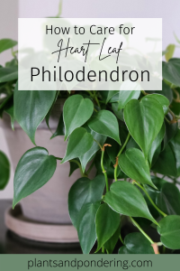 pinterest graphic for heartleaf philodendron care